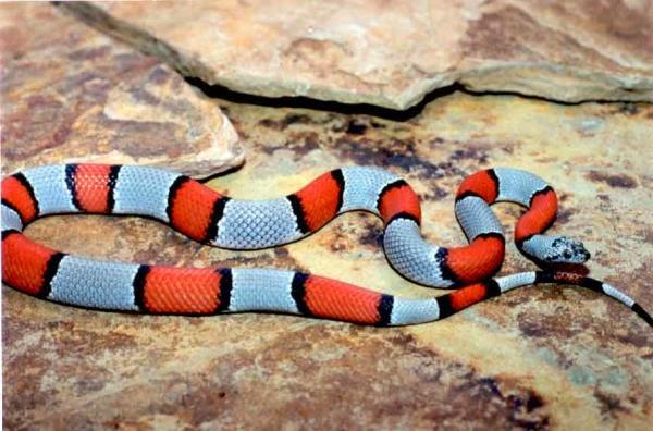 Grey Banded King Snake