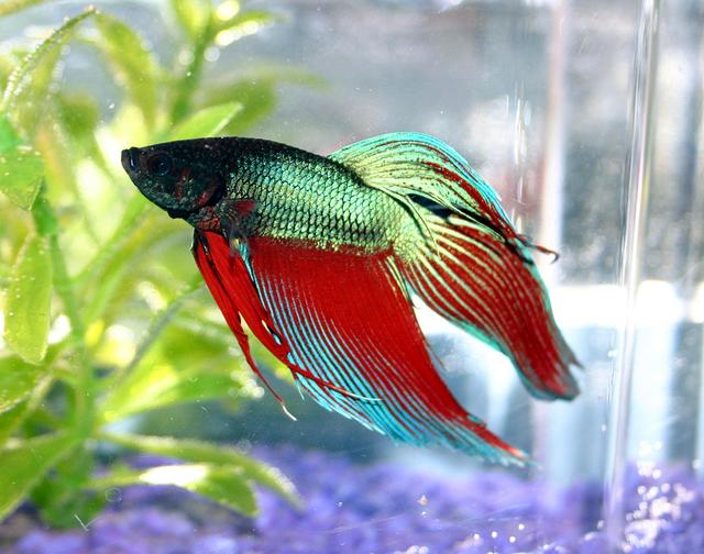 Fish pictures siamese fighting fish betta splendens for Can you put betta fish with other fish