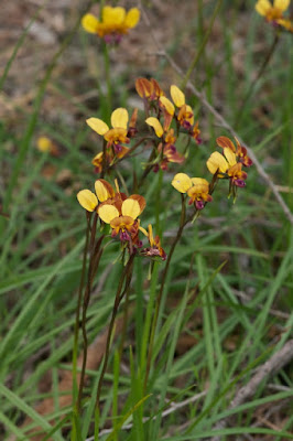 Purple Pansy Orchid (Diuris longifolia)