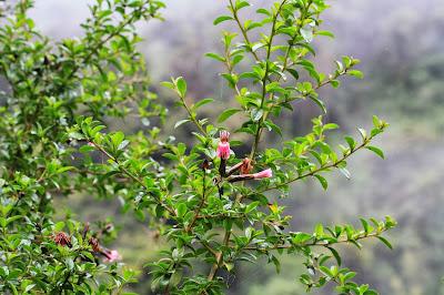 Barnadesia caryophylla [13.3216 S, 72.6478 W]
