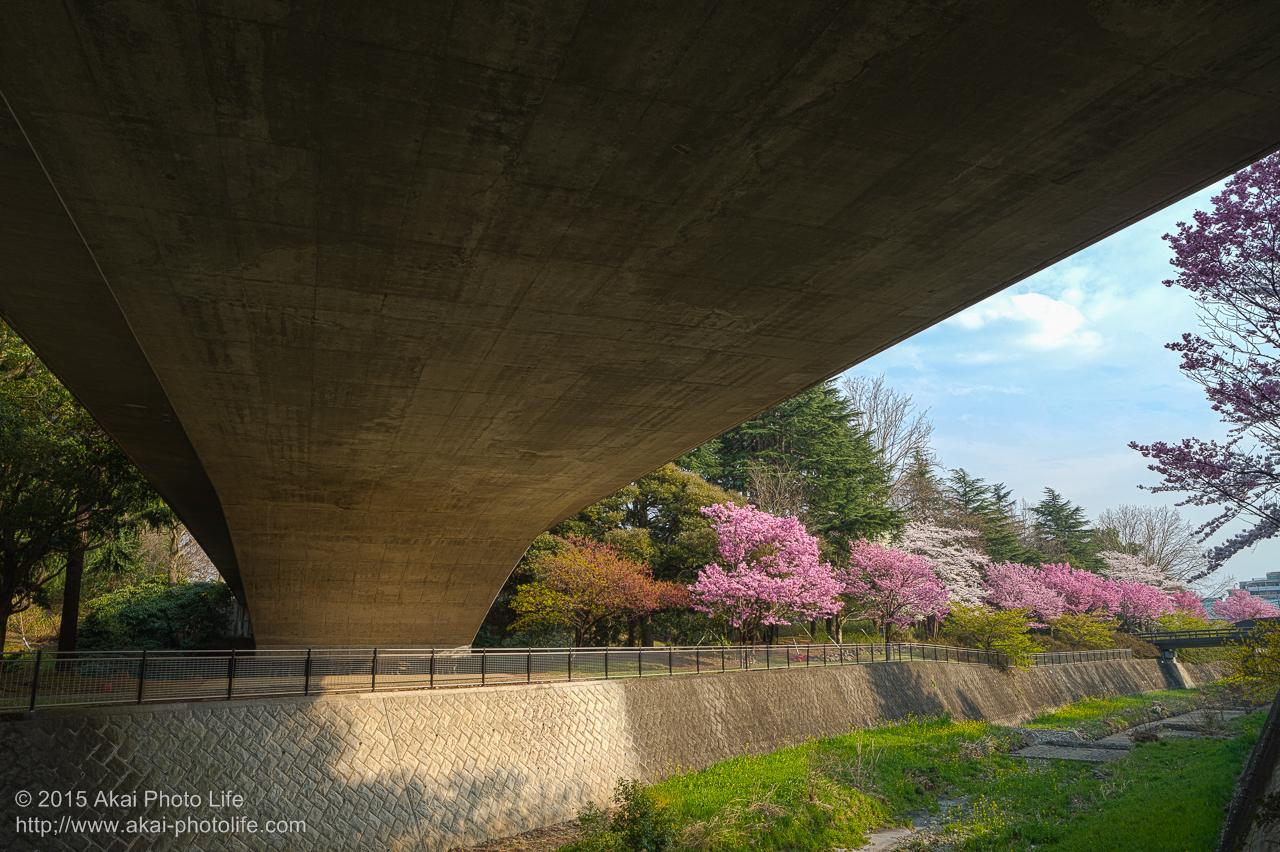 昭和記念公園の桜 その3