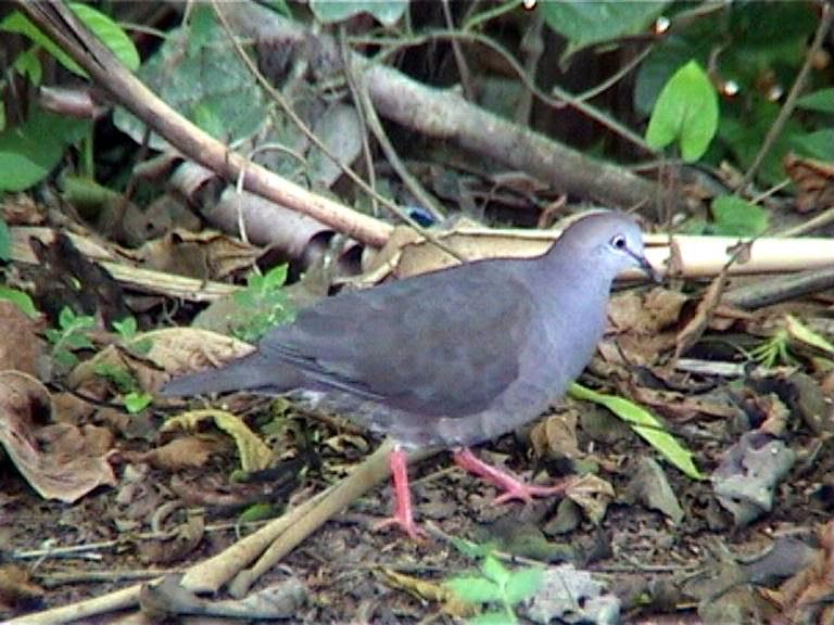 Grey chested dove