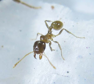 Close up of a Lophomyrmex worker