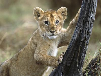 Lion Cub Normal Desktop Backgrounds,Stills,Wallpapers
