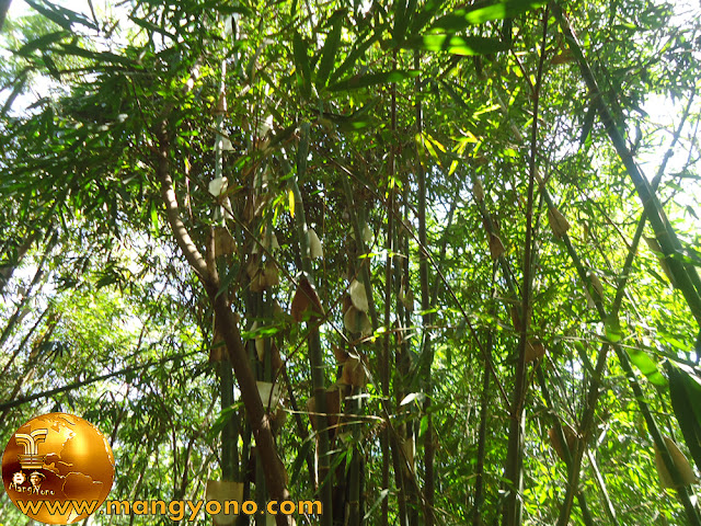 Bambu Ater di kebun mertua...