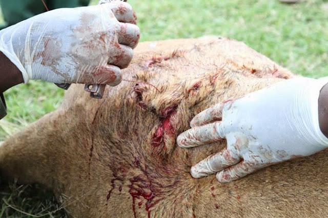 wounded lioness Siena raakt ernstig gewond op de Masai Mara en wordt geholpen door de Kenya Wildlife Service