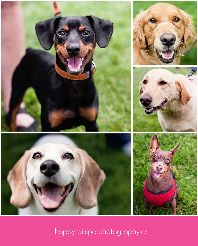 A collage of dog photos by Happy Tails Pet Photography at the 2012 Burlington Humane Soceity ARFmazing Race fundraiser in Spencer Smith Park, Ontario..