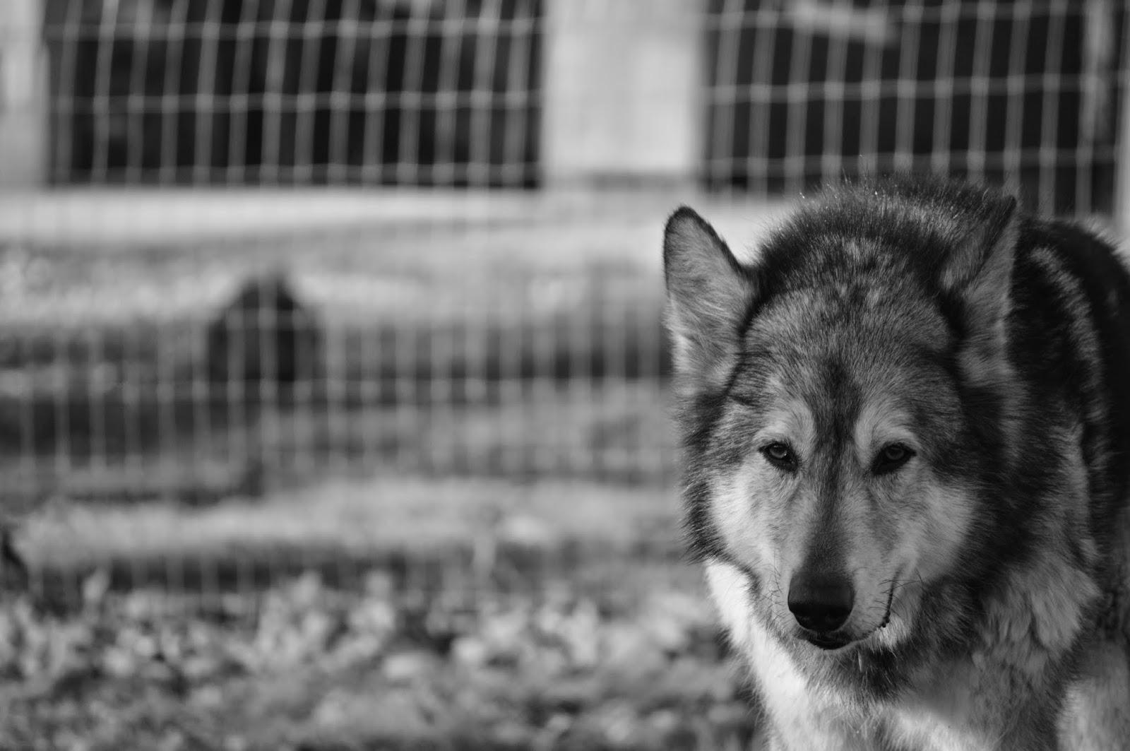 wolf malamute mix