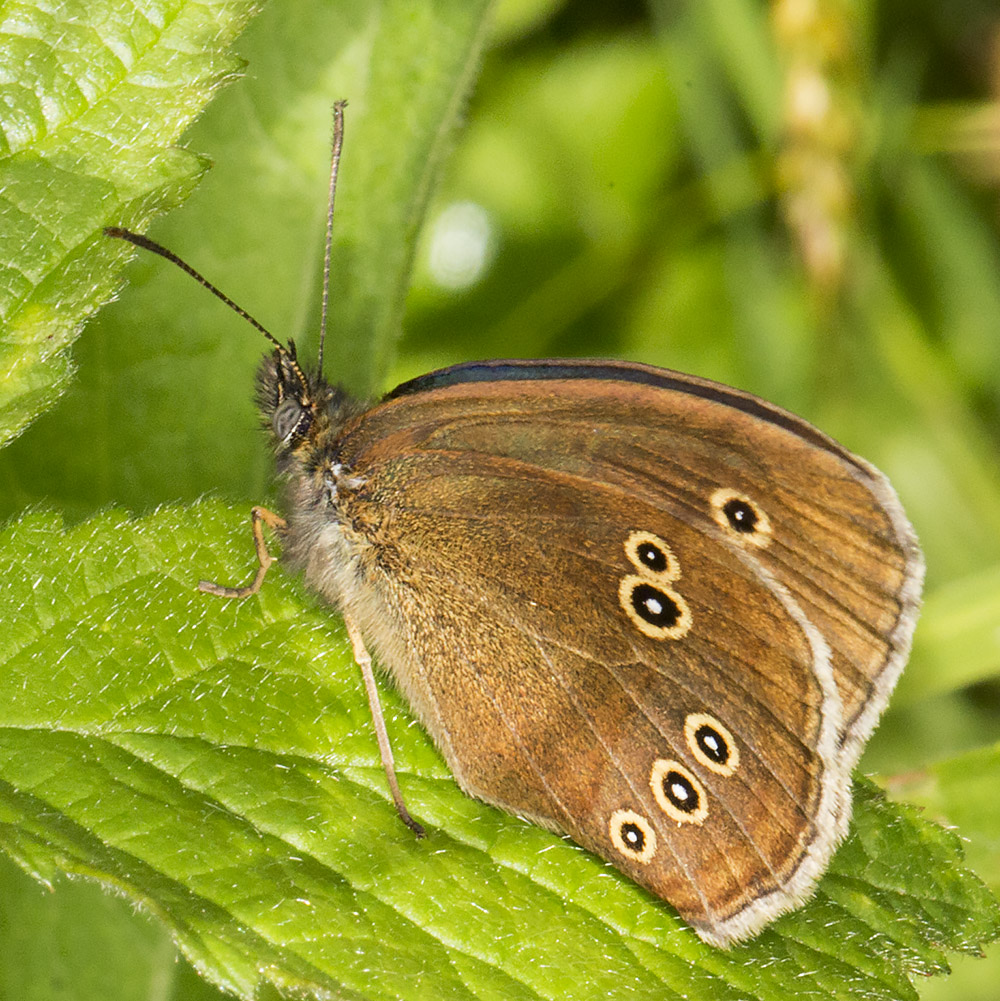 Ringlet, Aphantopus hyperantus.  Nymphalidae.  High Elms Country Park, 10 June 2014.