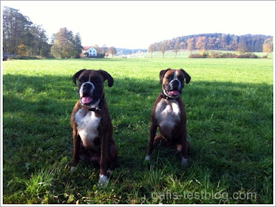 Boxer Amy mit Schwester Amira