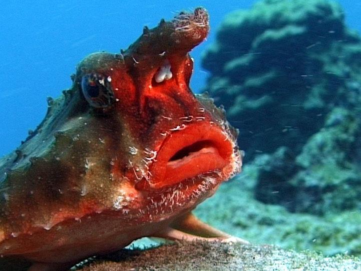 Red-lipped Batfish - Facts Pod