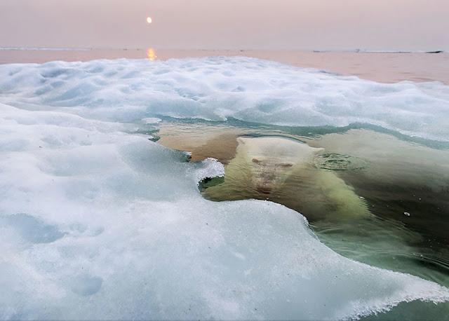 Абсолютным победителем стал американец Пол Соудерс (Paul Souders) с его полярным мишкой. Эта же фотография победила в категории «Природа». Именно Пол стал обладателем приза в $10 000 и поездки в штаб-квартиру общества.