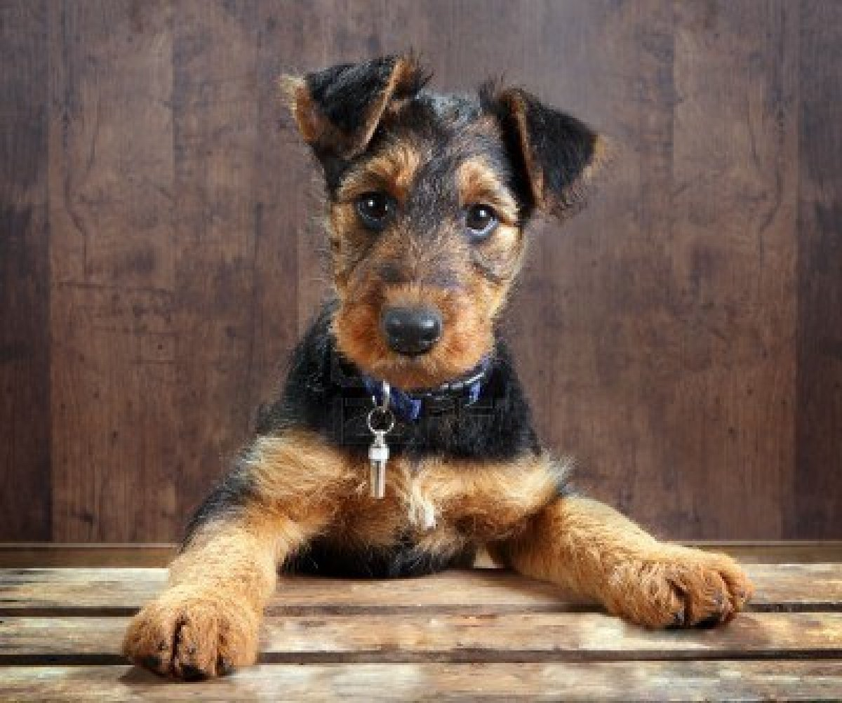 Świat Psów: Airedale Terrier