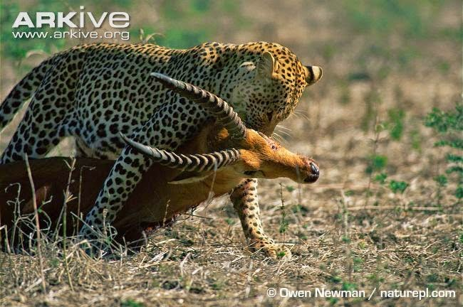 Puku and Leopard