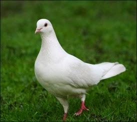 Hidung Kanan, Alat Vital Burung Merpati