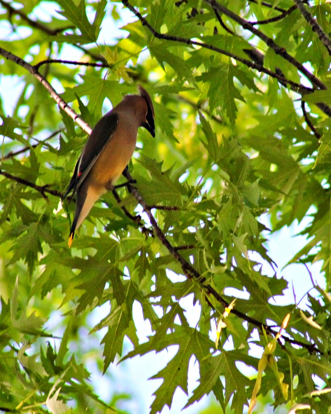 Migration of the Cedar Wax Wing - Easy Life Meal & Party Planning