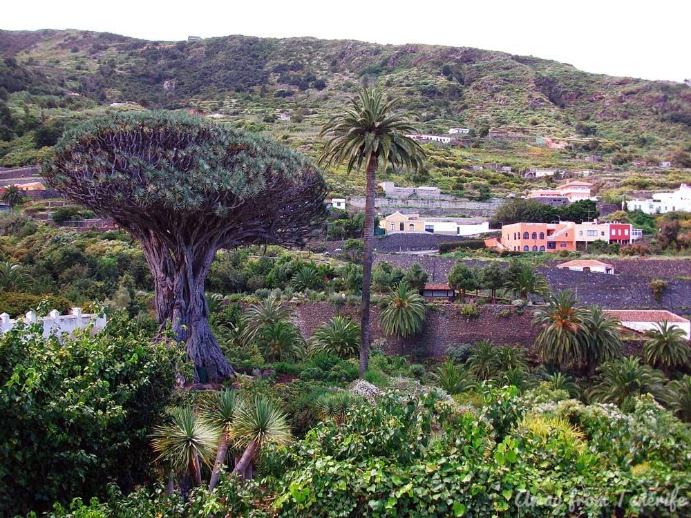 """Tenerife """"Icod de los Vinos"""" """"drago milenario"""""""