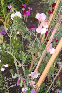 Sweet peas are glorious in summer, see how our sweet pea trial is going.