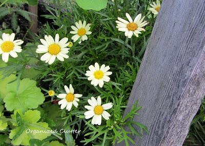 Cottage Garden - Marguerite Daisy