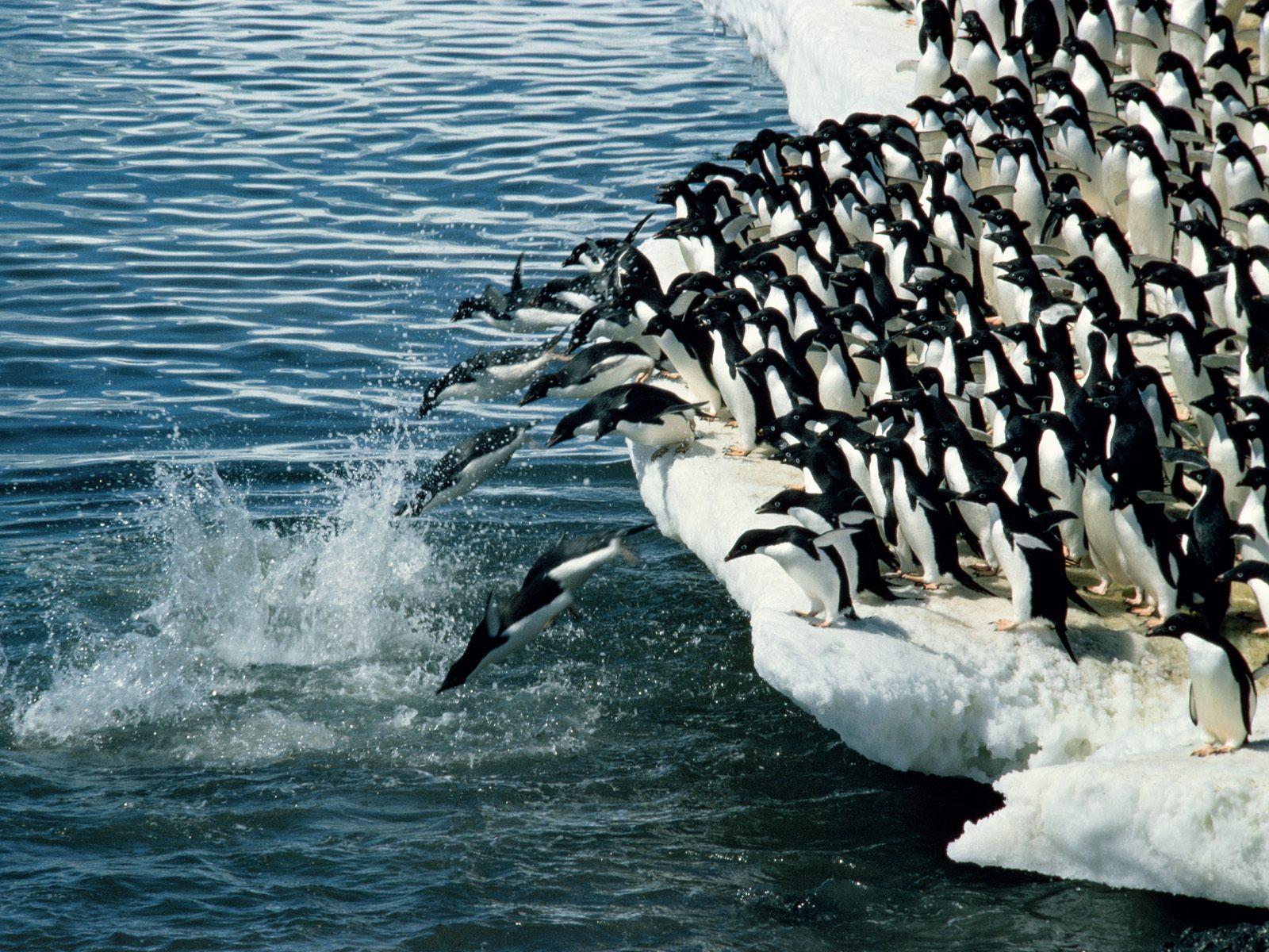 http://4.bp.blogspot.com/-acix04xtyVQ/T_5OcFIZxxI/AAAAAAAAGTk/FFMgrAppvJE/s1600/penguin+wallpaper+hd-6.jpg