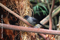 Saltn de muslos amarillos, Yellow thighed Finch, Pselliophorus tibialis