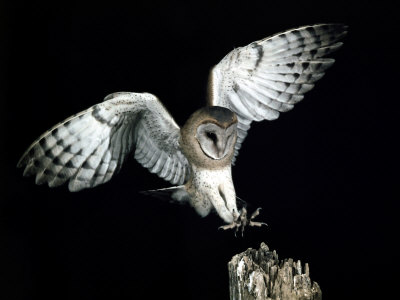Snowy owl in flight at night - photo#22