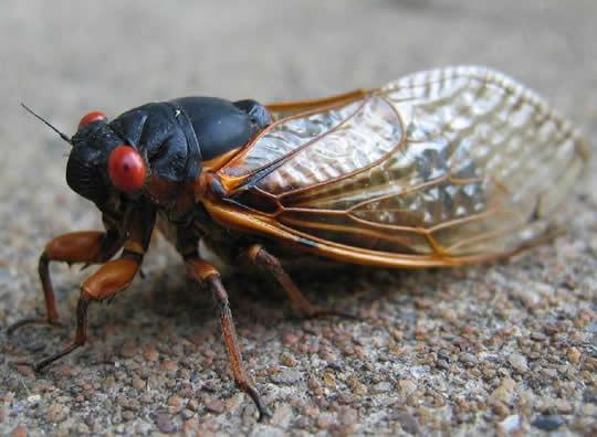 http://4.bp.blogspot.com/-adFOITeEFRg/TaYz-u9nqMI/AAAAAAAAAdw/sO8hnRuY76Y/s1600/cicada83.jpg