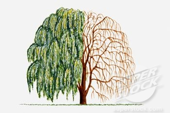 how to get rid of weeping willow tree roots