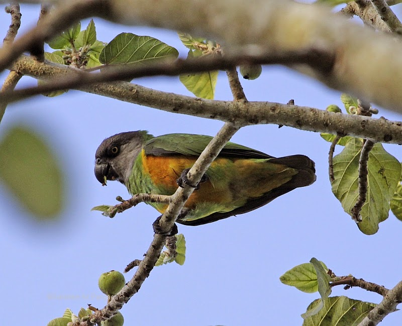 Senegal Parrots in a fruit tree in Gambia