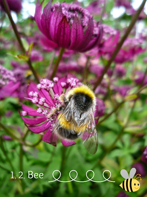 Bee on Astrantia Flower