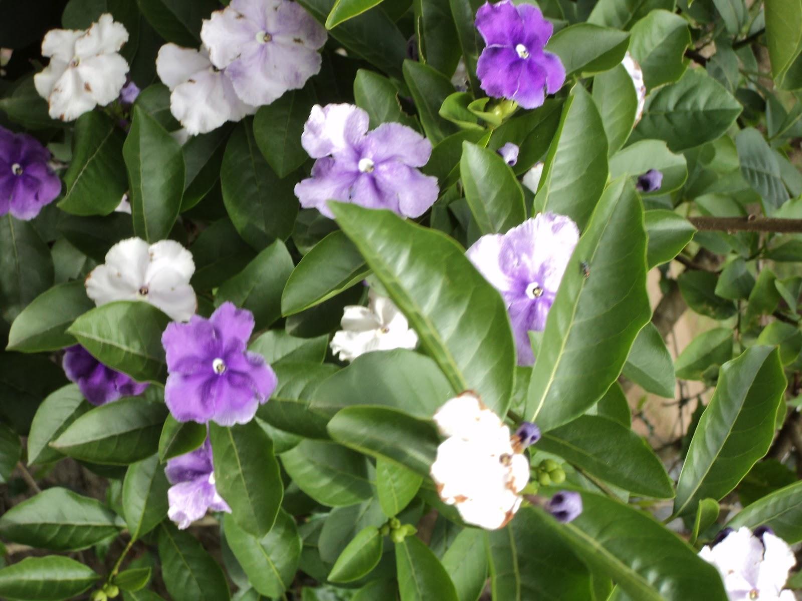 arvore manaca jardim:manacá-de-jardim ou manacá-de-cheiro (Brunfelsia uniflora) é uma