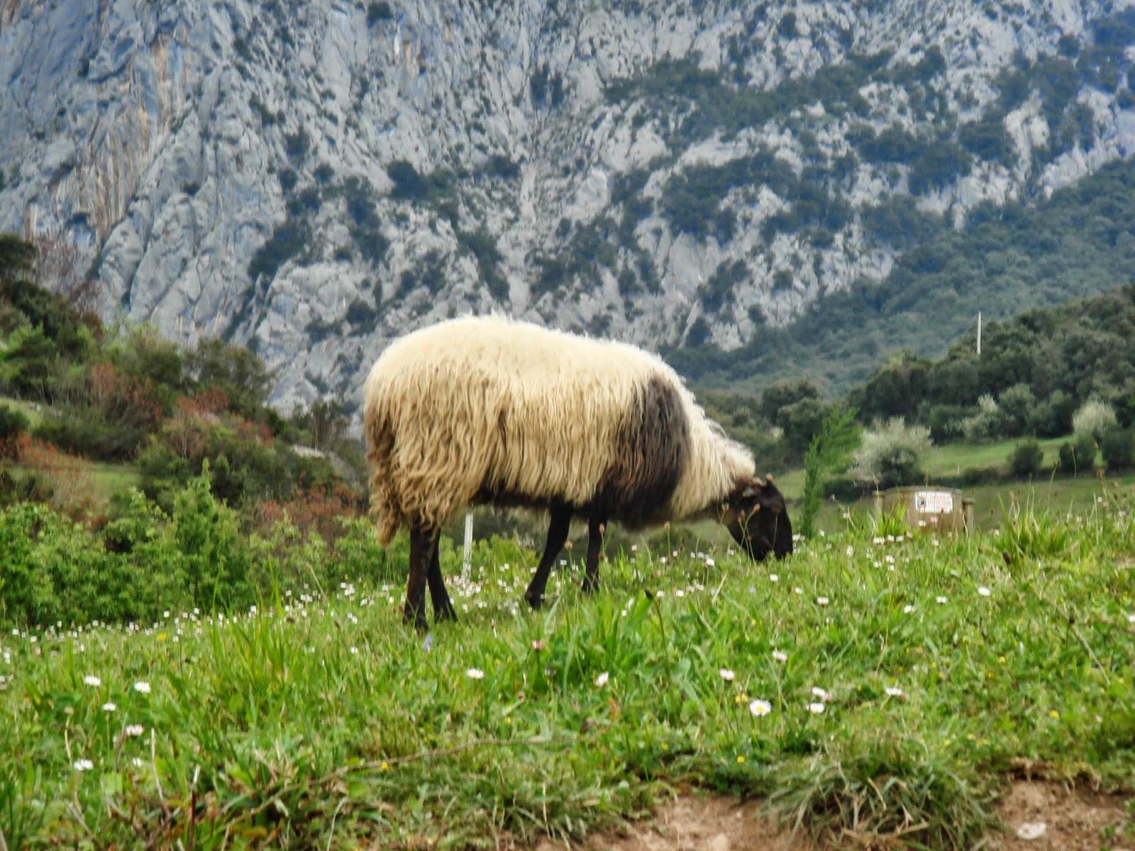 Oveja en Cantabria