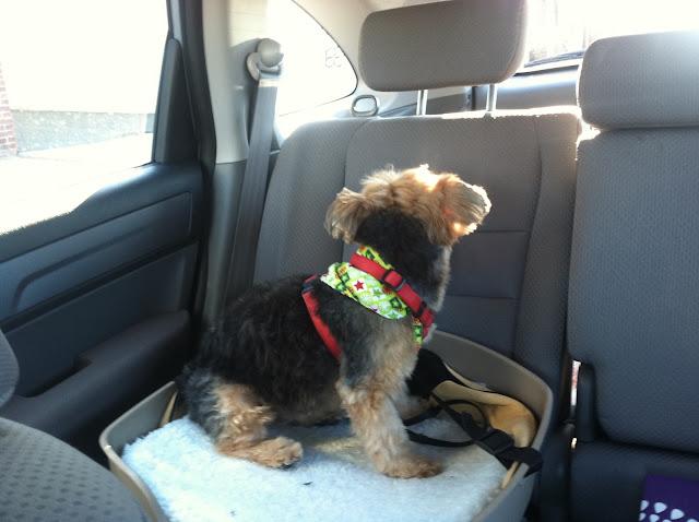 Yorkie-Priscilla-in-Her-Doggie-Car-Seat