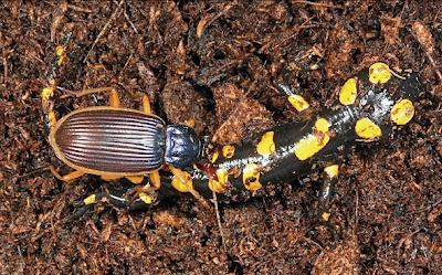animales-raros-escarabajo-asesino-epomis-Circumscriptus