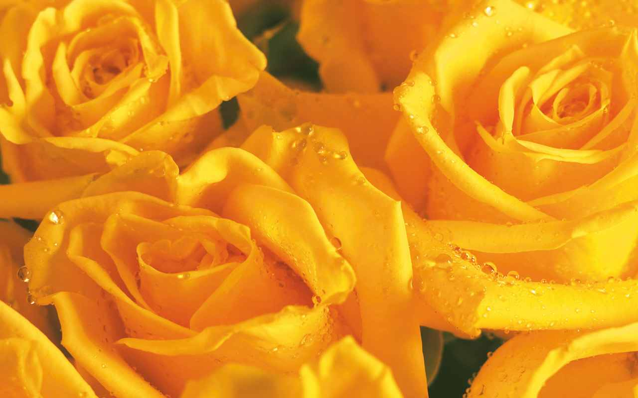 http://4.bp.blogspot.com/-aejbLj5Vrt4/Ted4i-V5zwI/AAAAAAAAA0Q/Kg-XZDbFKQs/s1600/yellow-rose-flower-wallpaper.jpg