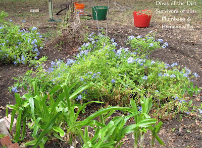 Divasofthedirt, plumbago & hymenocallis foliage