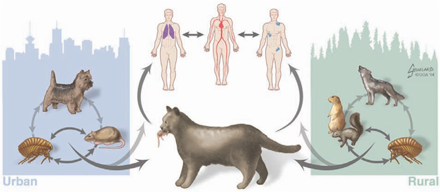 Hình 2: Phương thức truyền lây của bệnh dịch hạch