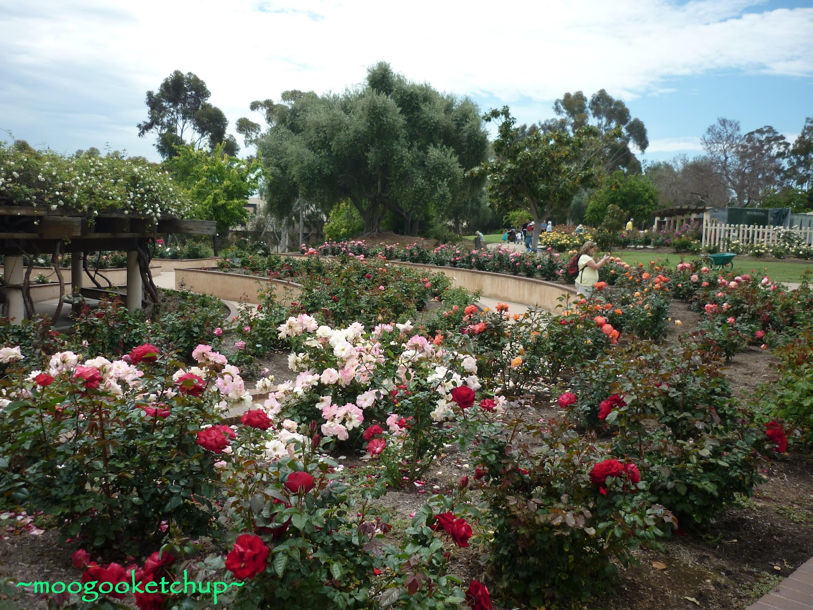 My Footsteps Roses At Rose Garden Balboa Park San