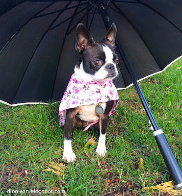 Boston terrier in her tiny raincoat with her umbrella