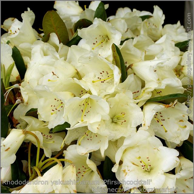 Rhododendron yakushimanum 'Pfirsichcocktail' -  Różanecznik jakuszimański 'Pfirsichcocktail' kwiaty