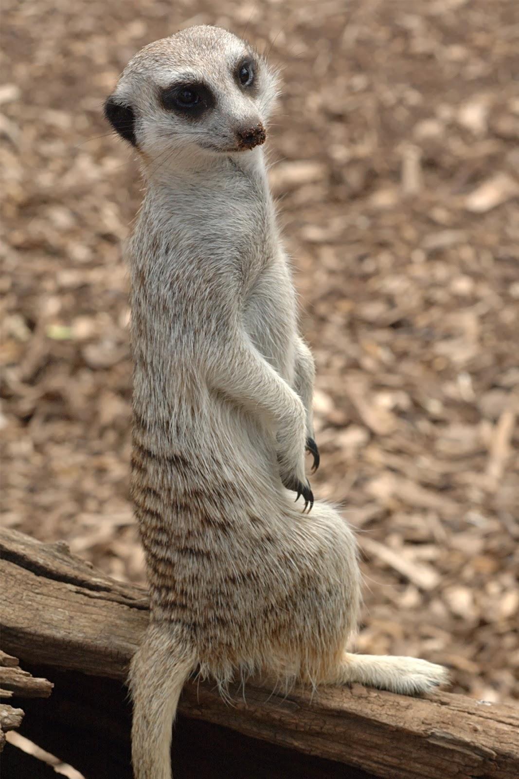 Meerkat Hd Wallpapers Hd Wallpapers High Definition