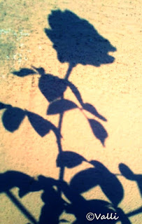 shadow of rose