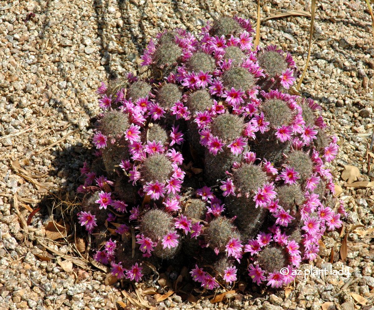 Arizona Pinchusion Cactus