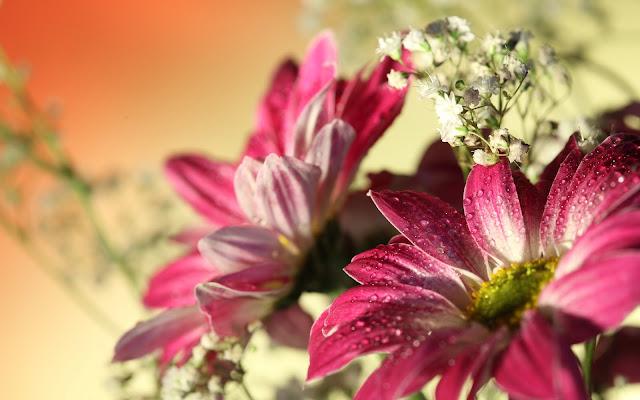 Flores de Gerbera Fondos de Pantalla de Flores HD