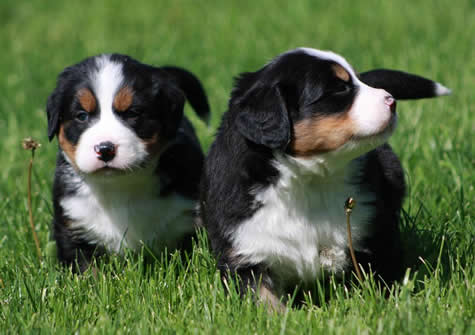 Bernese-mountain-puppy-picture
