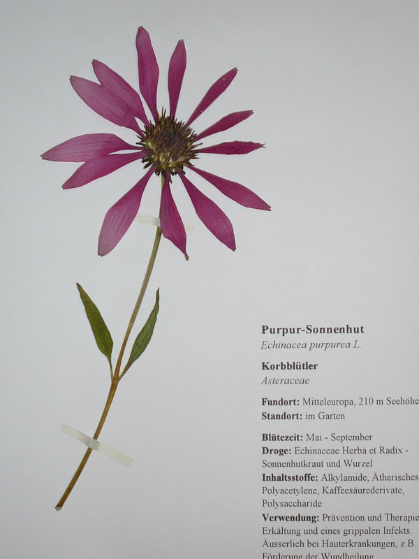 kr uterfee herbarbeleg purpur sonnenhut echinacea. Black Bedroom Furniture Sets. Home Design Ideas