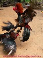 Perawatan Ayam Bangkok Pasca Diadu