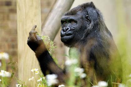 Ekspresi Lucu Saat Gorila Hendak di Foto