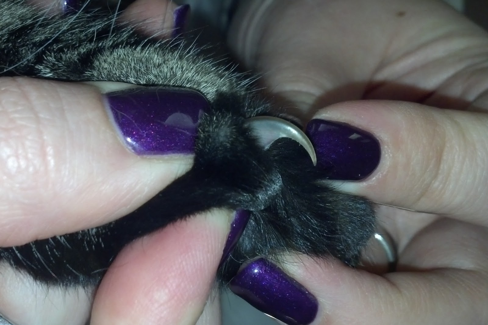 Pawsitively Cats How to Trim Your Cat s Nails