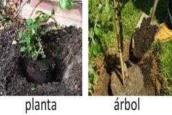 siguientes pasos para plantar una planta o un árbol es colocarla firmemente y se comienza a ordenar con la mano cuidadosamente las raíces de tal forma que queden bien distribuidas por todos sus alrededores. Aquí hay que poner la tierra con los nutrientes, abonos y fertilizantes;